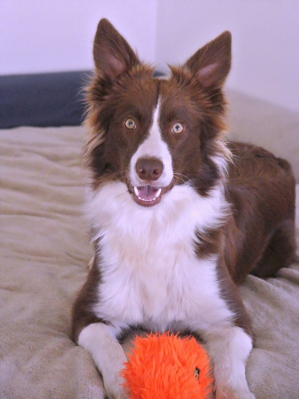 Blue Moon Guirmere Working Border Collies